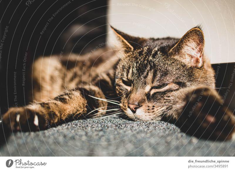 Katze genießt die Sonne Kater liegen Teppich schlafen niedlich Fell tatze Krallen müde Bokeh Licht Sonnenstrahlen gefleckt getigert augen Augen geschlossen