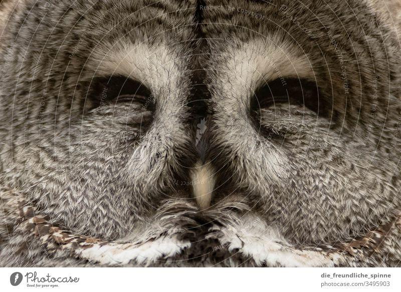 schlafende Eule Eulenvögel Eulenaugen Uhu Kauz Porträt Symmetrie tier grau feder flauschig Zoo Zoologischer Garten Wildvogel Waldkauz Tier Vogel Wildtier Feder
