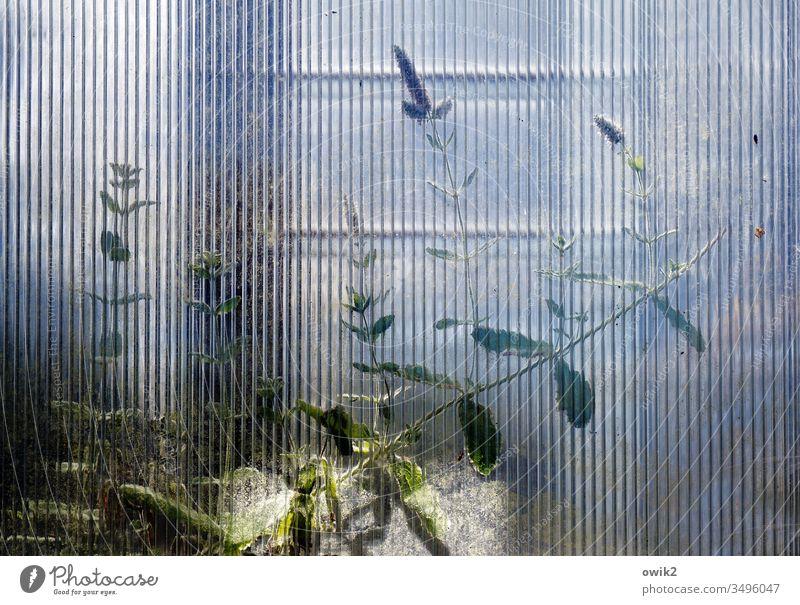 Gefiltert Gewächshaus Glas Glasscheibe Strukturglas Muster unscharf Pflanze dünn Wachstum Blätter durchscheinend schemenhaft geheimnisvoll