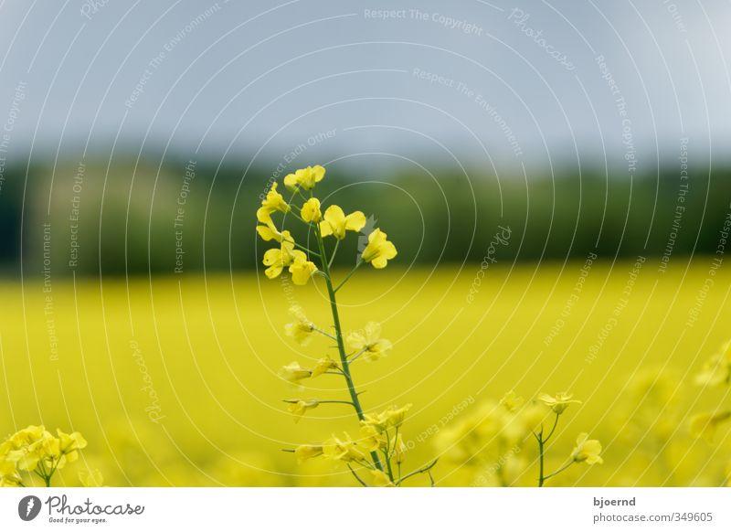Raps (Brassica napus) Natur Pflanze Frühling Rapsfeld Rapsblüte gelb grün Schleswig-Holstein Landwirtschaft Außenaufnahme Blüte Feld Farbfoto mehrfarbig