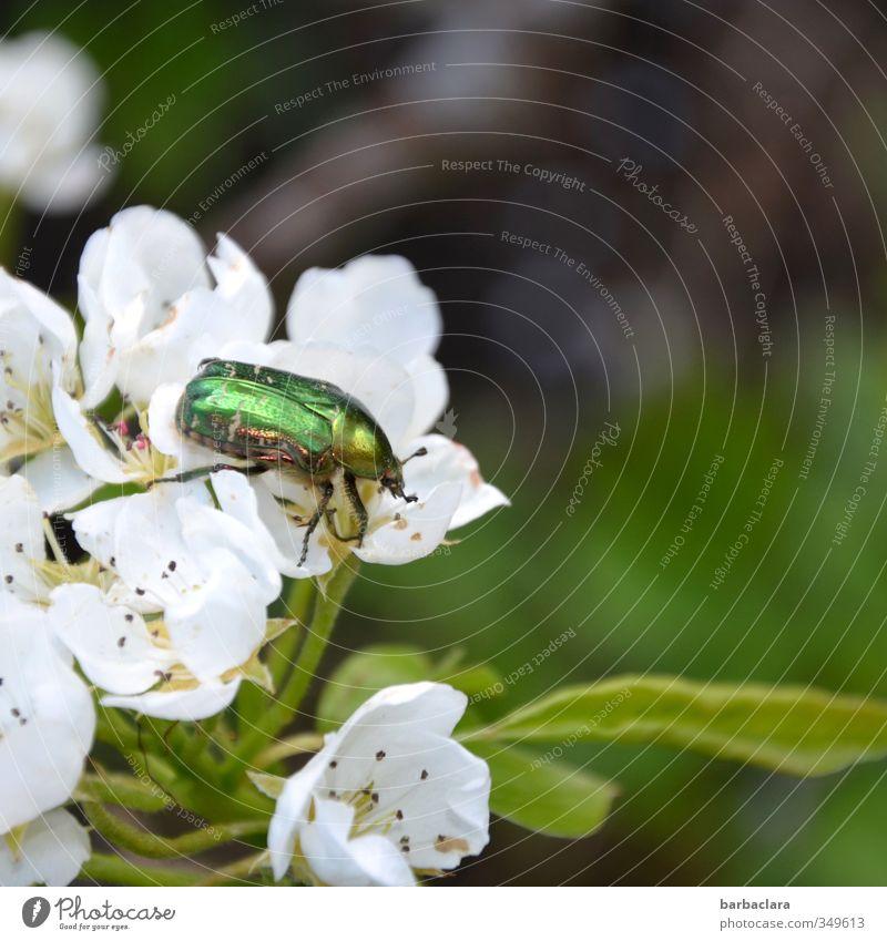 Der Rosenkavalier Landschaft Pflanze Tier Blatt Blüte Birnenblüten Garten Käfer Rosenkäfer 1 Blühend krabbeln frisch glänzend hell grün weiß Frühlingsgefühle