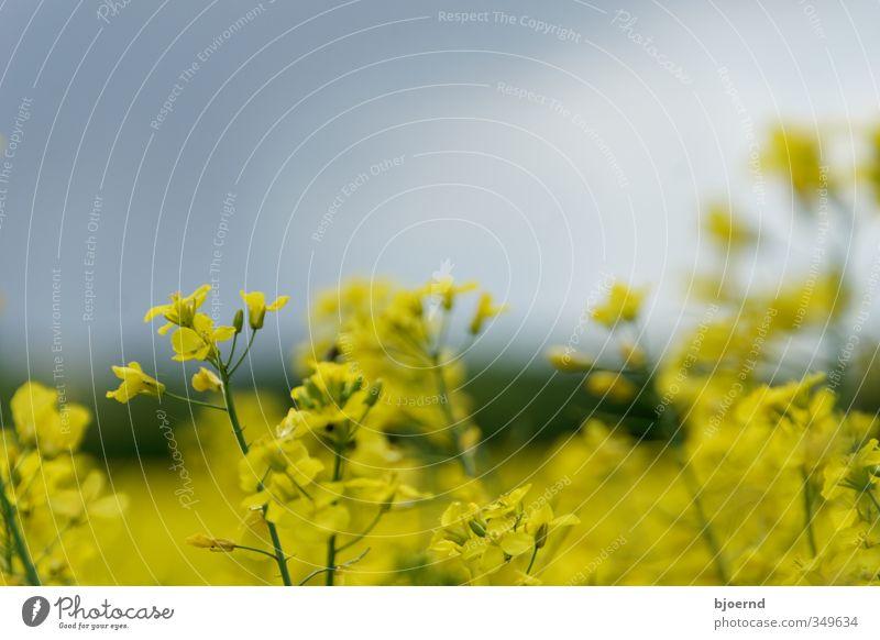 Raps (Brassica napus) Natur grün Pflanze gelb Frühling Blüte Feld Landwirtschaft Nutzpflanze Schleswig-Holstein Rapsfeld Rapsblüte