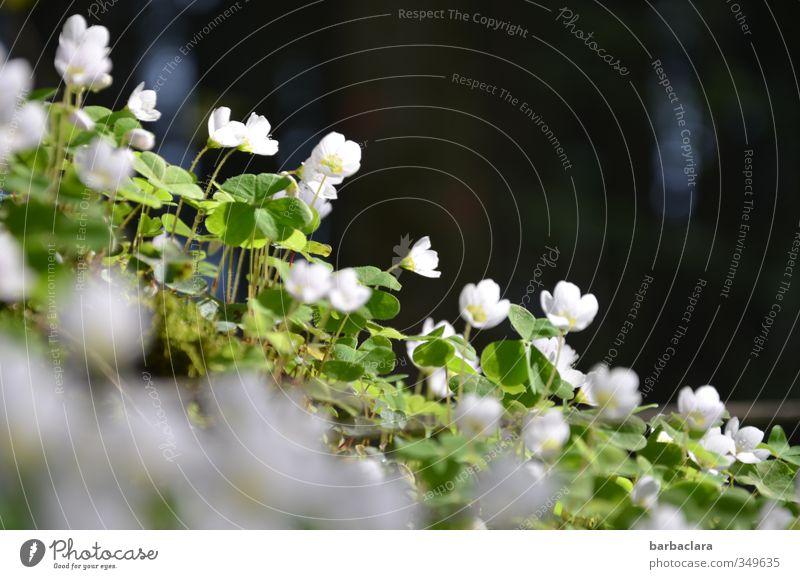 Waldkleeblütenkette Sommer Klee Kleeblatt Kleeblüte Blühend leuchten Wachstum ästhetisch dunkel frisch hell grün schwarz weiß Duft Erholung Gefühle Natur rein