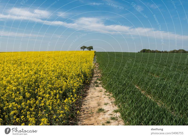 Ein Rapsfeld und ein grünes Feld, wo auch irgendwann wächst, unter einem blauen Himmel mit leichten Wolken gelb Felder blauer Himmel Frühling Natur Landschaft
