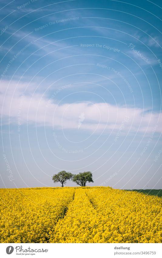 Ein Rapsfeld und zwei Bäume unter einem blauen Himmel mit leichten Wolken gelb Feld Felder blauer Himmel Frühling Natur Landschaft Landwirtschaft Pflanze