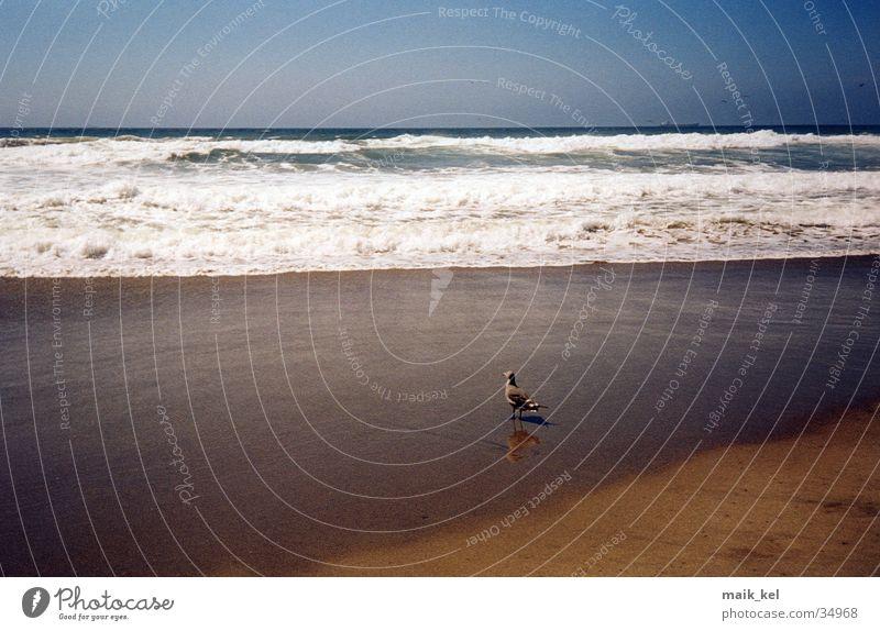 Vogel am Strand Brandung Sandstrand San Francisco Natur