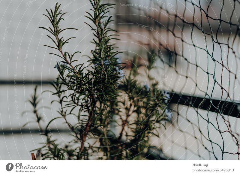 Ein Strauch Rosmarin, der auf dem Balkon gefangen ist grün Kräuter & Gewürze Nutzpflanze Pflanze achtsam Freizeit & Hobby Sommer Gemüse Wachstum frisch