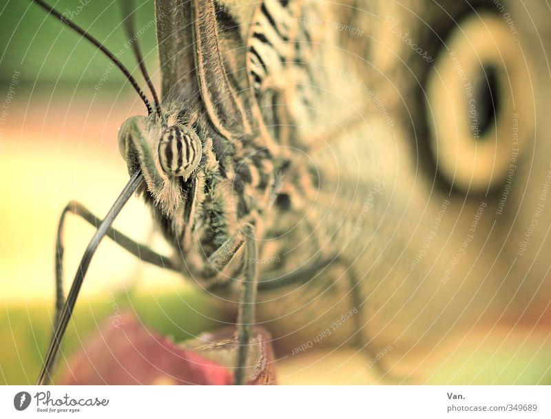 Rüsseltier Natur Tier Wildtier Schmetterling Tiergesicht Flügel 1 Fressen klein weich gelb Farbfoto Gedeckte Farben Außenaufnahme Nahaufnahme Makroaufnahme