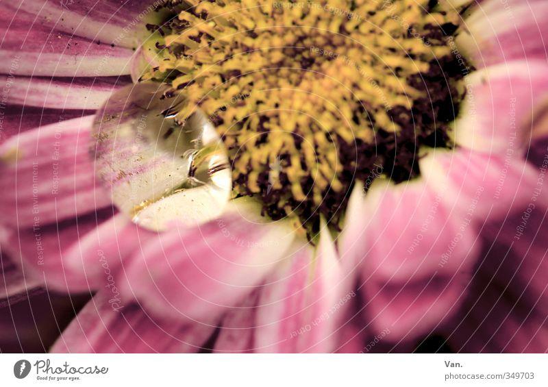 bedröppelt² Natur Pflanze Frühling Blume Blüte Garten nass gelb rosa Wassertropfen Farbfoto Gedeckte Farben Außenaufnahme Nahaufnahme Detailaufnahme