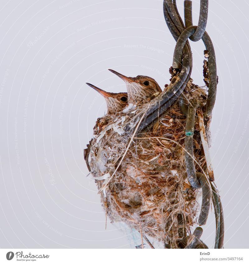 Kolibri-Baby-Paar im Nest aus nächster Nähe Kolibris Jungvogel Vogel wild Tier Tiere Tierwelt Babys jung jugendlich Geschwister Schnäbel Federn Auge