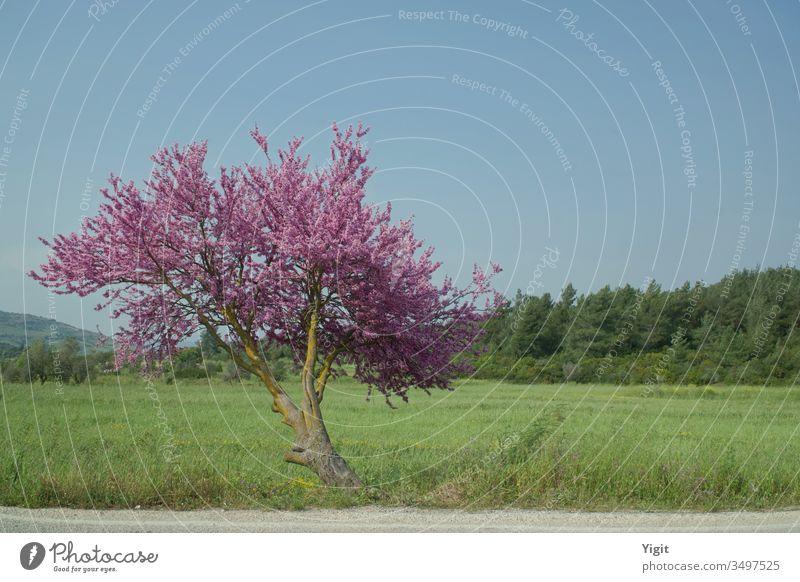 Mandelbaum am Straßenrand bei Bodrum Außenaufnahme mehrfarbig Farbfoto Ernte Ackerbau Blütenblatt Mandelblüte Blühend Wiese Wildpflanze Blatt Moos Gras Baum