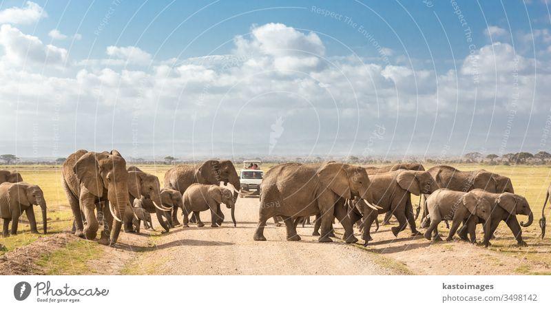 Eine Herde großer, wilder Elefanten überquert eine unbefestigte Straße im Amboseli-Nationalpark in Kenia. Safari reisen Afrika Tierwelt Afrikanisch Familie