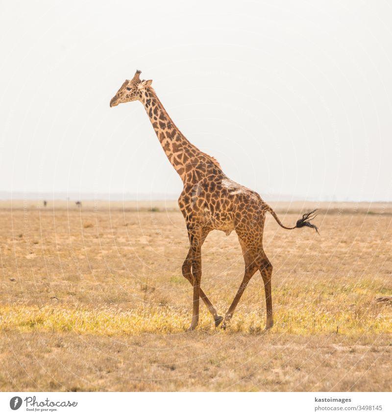 Einzelgänger-Giraffe im Amboseli-Nationalpark, Kenia. Afrika Tier wild Afrikanisch Säugetier Natur eine Safari Tierwelt Tourismus Masai Park Savanne allein
