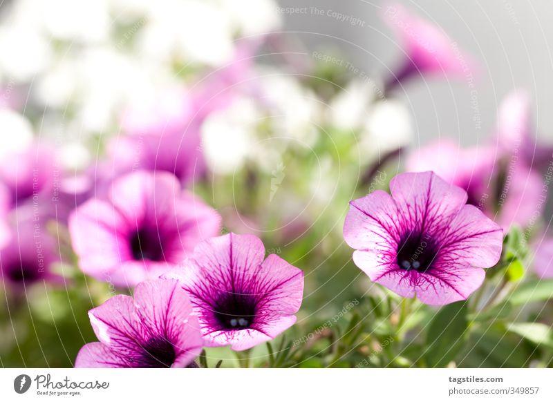 BLÜMSCHE Natur Pflanze Sonne Blume Wärme Blüte Garten rosa leuchten weich Blühend Postkarte Tiefenschärfe Gartenarbeit Gartenbau Gärtner