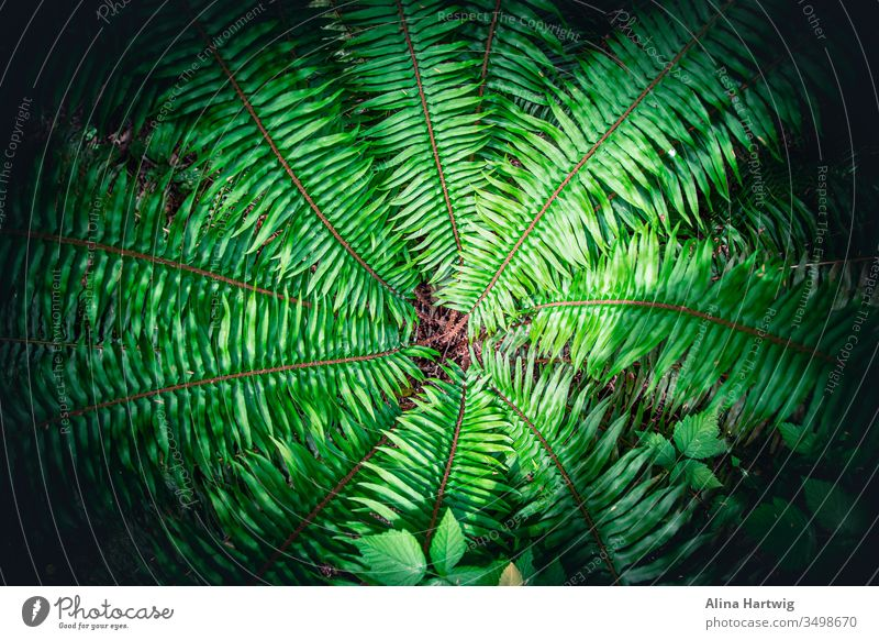 Schönes grünes Farnmuster von oben Natur Makro Nahaufnahme Pflanze Pflanzen Wurmfarn Farne wachsend Muster Struktur Wald reisen symmetrisch schön farbenfroh