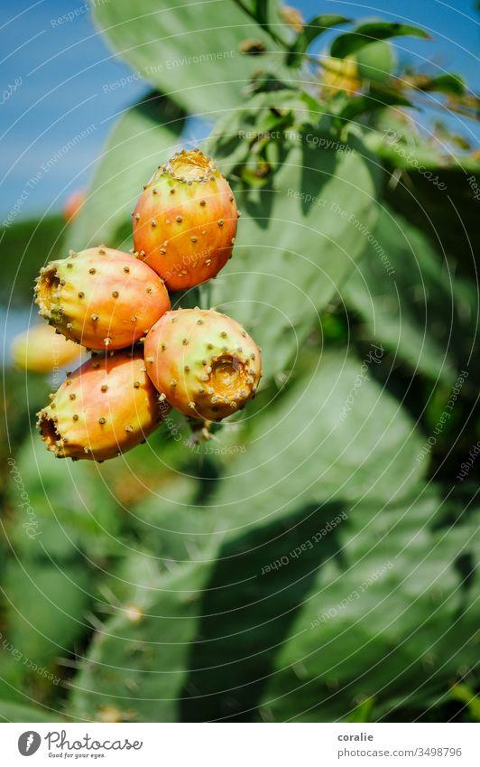 Gelb-orange Kaktusfeige mit grünem Hintergrund fruchtig Frucht Sommer Sommerurlaub exotisch kaktuspflanze kostprobe Farbfoto Natur Pflanze Außenaufnahme