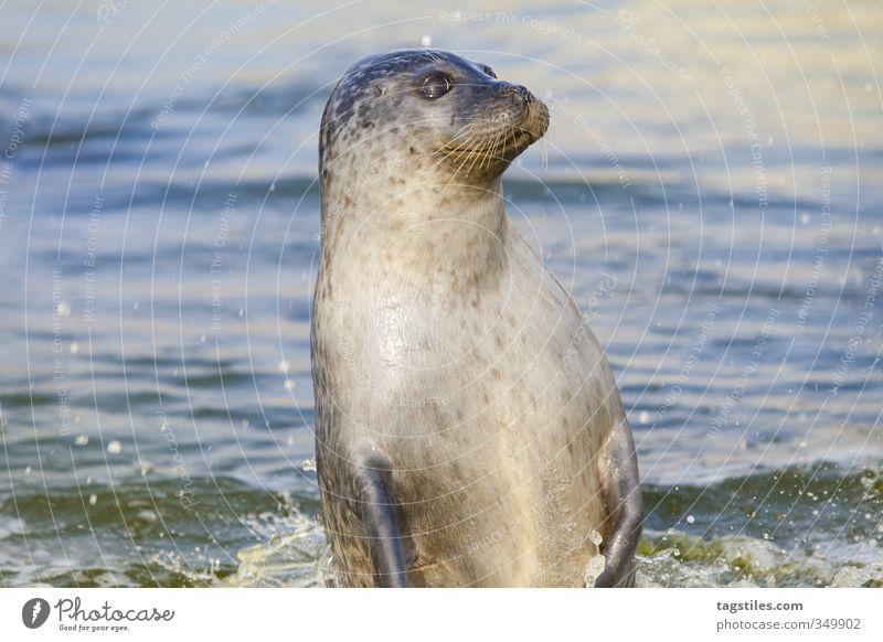 JUMP! Natur Ferien & Urlaub & Reisen Wasser Meer Tier Reisefotografie springen Idylle Neugier Postkarte Nordsee Wachsamkeit Säugetier Robben Kegelrobbe Seelöwe