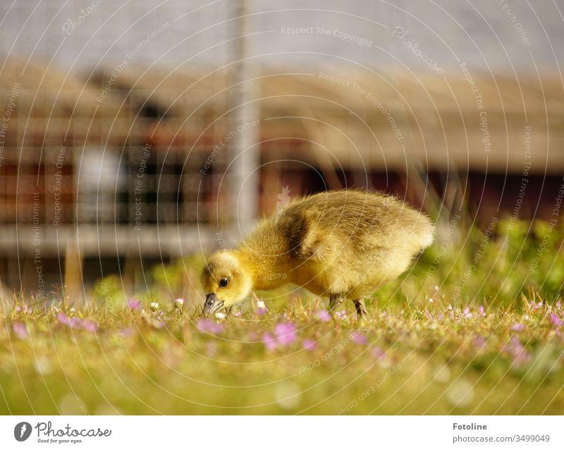 blumiges Frühstück - oder ein Gänseküken zupft Gras auf einer Wiese mit kleinen lila Storchenschnäbelchen. Küken Vogel Tier Farbfoto Außenaufnahme Natur