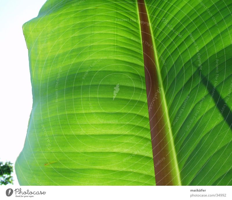 Bananenblatt Blatt Licht durchsichtig grün braun Lichtspiel Sommer Ferien & Urlaub & Reisen Palme Bananenpflanze Sonne Schatten
