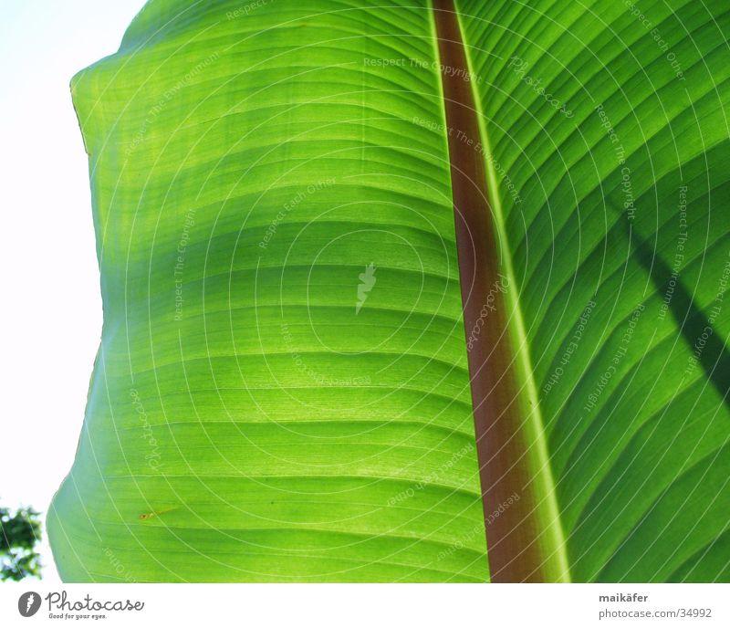 Bananenblatt Sonne grün Sommer Ferien & Urlaub & Reisen Blatt braun Palme durchsichtig Lichtspiel