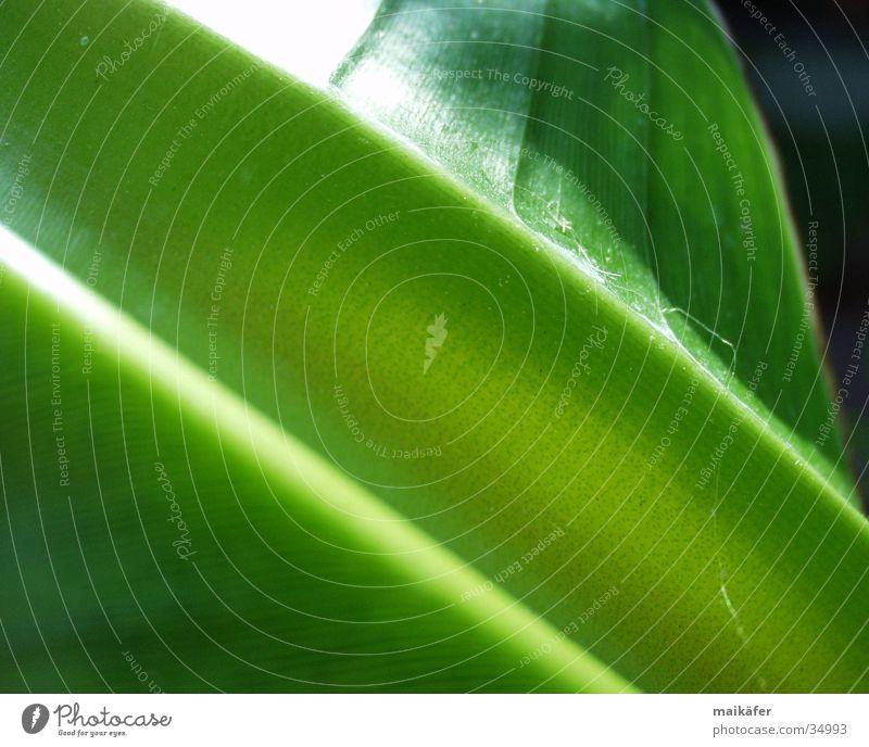 Käferrutschbahn Banane Stengel Blatt grün saftig Licht Lichtspiel glänzend Bananenpflanze Kraft Sonne
