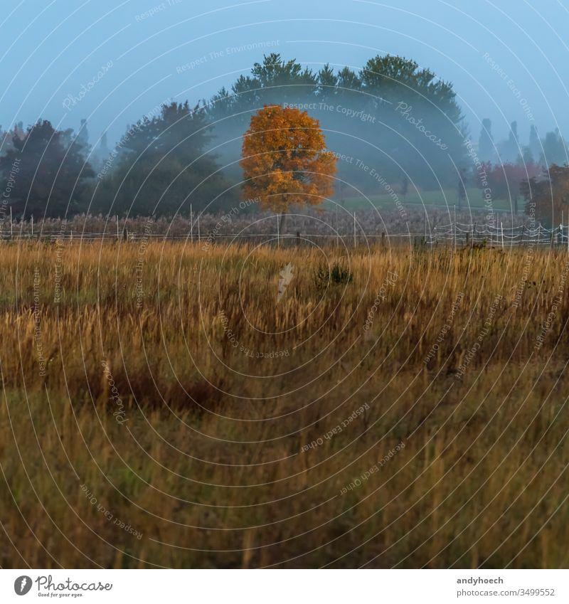 Einzelner Baum im Herbstkleid in der Bildmitte schön Schönheit in der Natur Wandel & Veränderung Land Landschaft dramatisch Umwelt fallen Feld Nebel neblig Wald