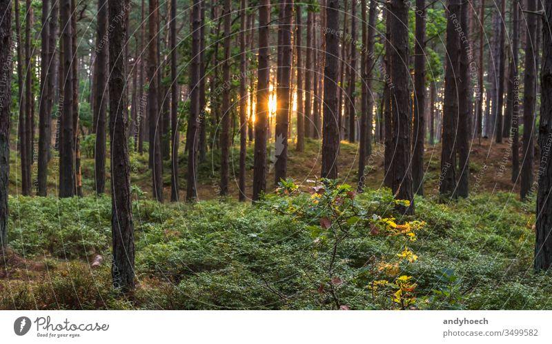 Stämme eines Nadelwaldes an einem sonnigen Morgen Hintergrund Hintergründe Hintergrundbeleuchtung hintergrundbeleuchtet schön Schönheit in der Natur hell