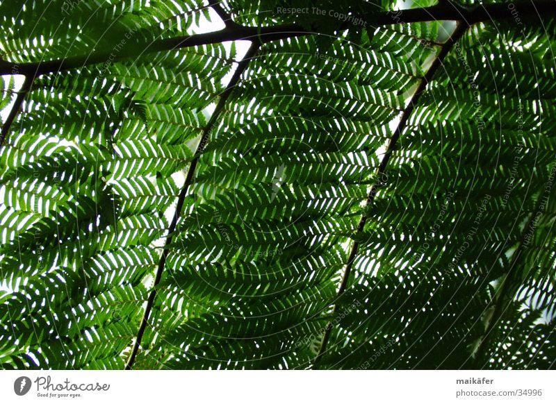 Urwüchsiges Blätterdach Baum Palme Licht durchsichtig grün braun Lichtspiel Sommer Ferien & Urlaub & Reisen Echte Farne Sonne Schatten Palmenhaus