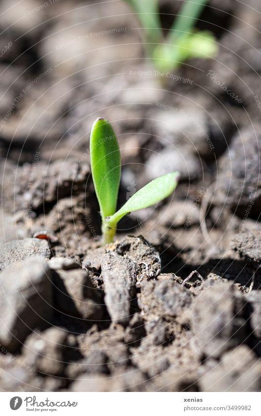 der kleine Keimling brach hoffnungsvoll aus der Erde und stand fortan in der gnadenlosen Sonne Mutterboden Pflanze Hoffnung Landwirtschaft Ackerbau Wachstum