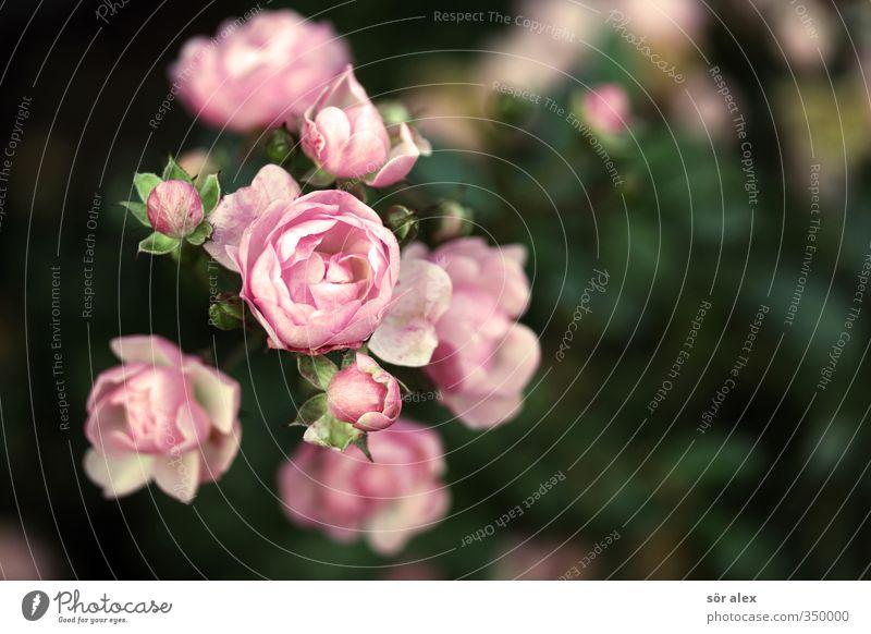 Röschen Natur Pflanze Tier Schönes Wetter Blume Sträucher Rose Blüte Garten Park schön grün rosa Farbfoto mehrfarbig Außenaufnahme Menschenleer