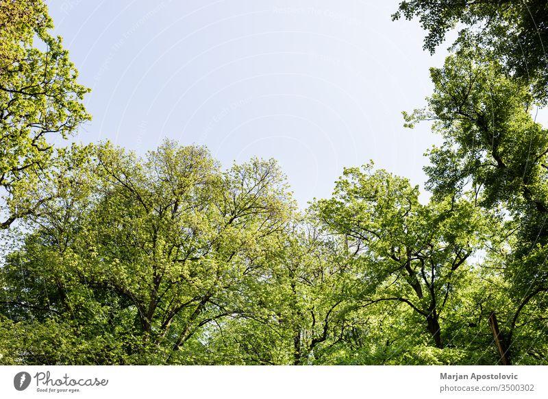 Satte grüne Bäume im Park im Frühling Hintergrund schön blau Botanik Ast hell Tag Öko Ökologie Umwelt Europa Flora Laubwerk Wald frisch Grün idyllisch