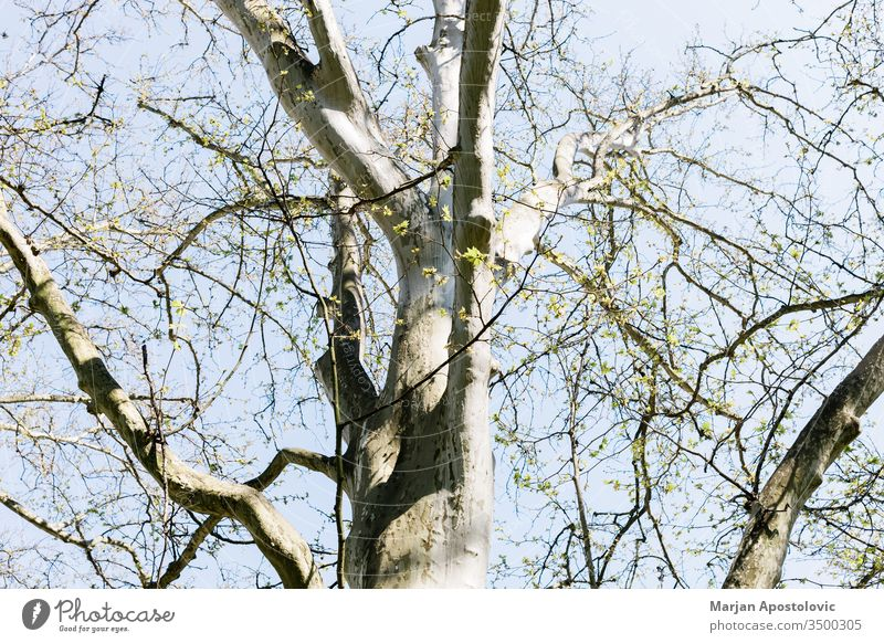 Platanenwipfel aus einem niedrigen Winkel schön groß Botanik Gesäß Ast Schutzdach Kruste Tag Öko Ökologie Umwelt Flora Laubwerk Wald grün wachsend Wachstum hoch