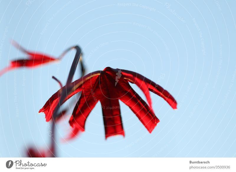 Japanischer Fächerahorn Blutahorn Wachstum Farbe Schönes Wetter außergewöhnlich Makroaufnahme Zentralperspektive schön Frühling ästhetisch Textfreiraum unten