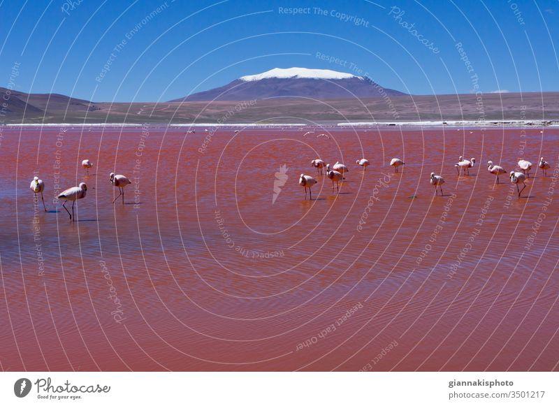Flamingos in der Laguna Colorada, Roter See, Andengebirge, Bolivien Abenteuer altiplano Altiplano Seen schön Schönheit der Natur blau Blauer Horizont