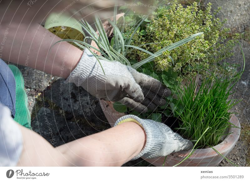 eine Gärtnerin pflanzt mit Handschuhen Kräuter in einen Topf aus Terrakotta Kräutergarten einpflanzen Pflanzzeit Bioprodukte Pflanze Gesunde Ernährung Tongefäß