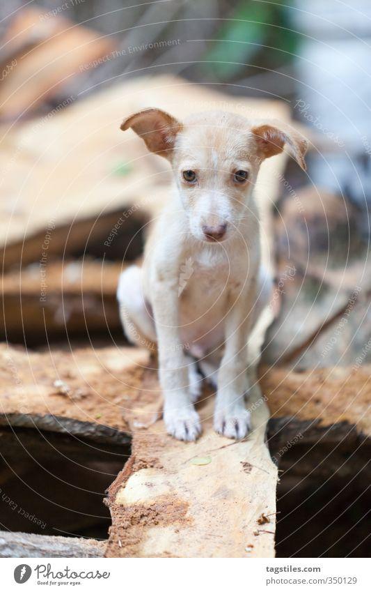 DOBBY Hund Tier Tierjunges Holz Angst Säugetier Schüchternheit Parkett Holzplatte Welpe Balken Seychellen unsicher Schiffsplanken Holzleiste Hundeblick