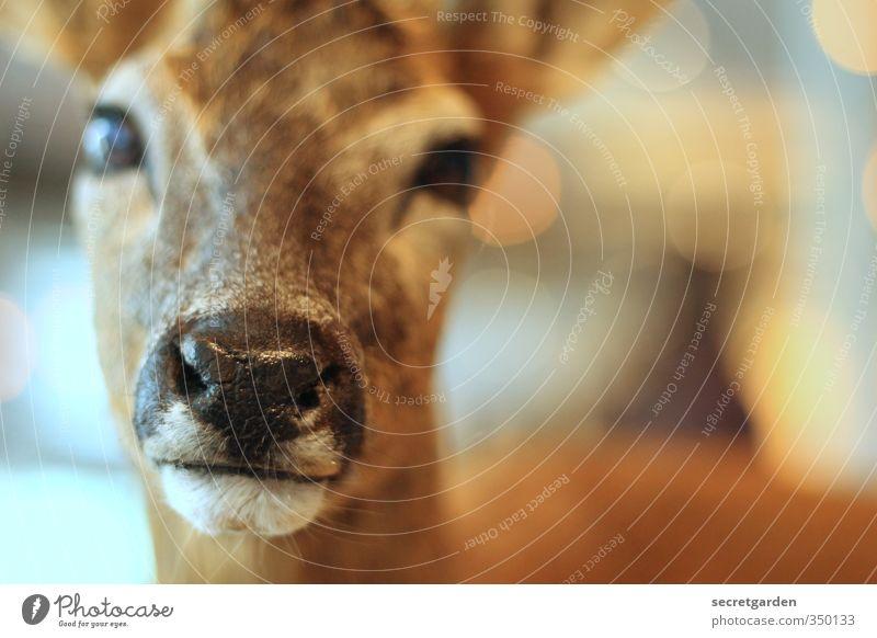 scheues reh. Tier Wildtier Tiergesicht Reh 1 Blick glänzend nah niedlich braun Gelassenheit ruhig Schüchternheit Maul nass Nase Rehauge Farbfoto Innenaufnahme