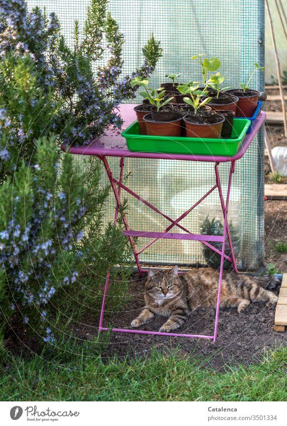 Der Rosmarin blüht, die Katze döst unterm pinken Gartentisch auf dem die Töpfe mit den  jungen Zucchinipflanzen stehen Frühling schönes Wetter Gartenarbeit blau