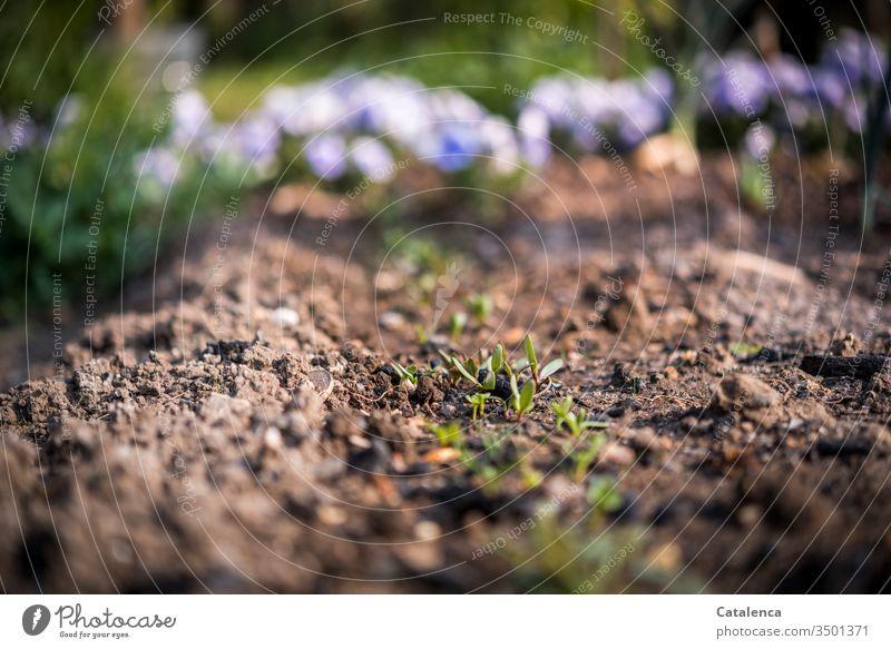 Rote Beete Pflänzchen wachsen im Beet heran, im Hintergrund blühen Stiefmütterchen an einem schönen Frühlingstag Pflanze Gemüse Erde Wachstum klein zart Garten