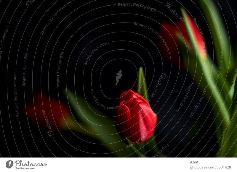 rote Tulpen vor schwarzem Hintergrund Blume Nahaufnahme Kontrast Blatt natürlich schön ästhetisch Farbfoto Detailaufnahme Schwache Tiefenschärfe
