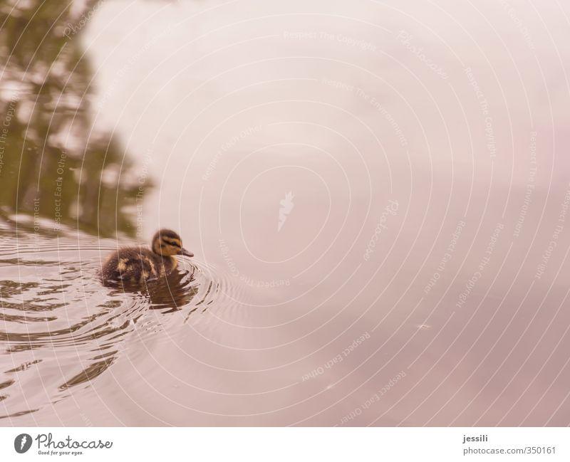 Freischwimmer Natur Wasser Tier Abenteuer Neugier entdecken Ente Stockente