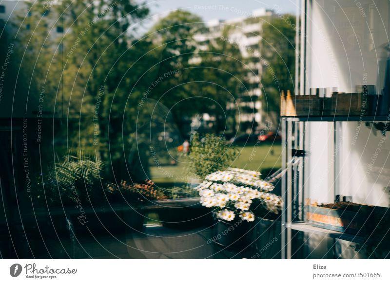 Spiegelung eines Balkons in der Fensterscheibe fotografiert, bisschen verschwommen und surreal Wohngebiet Wohnhaus Blumen bepflanzt Pflanzen Regal Margeriten