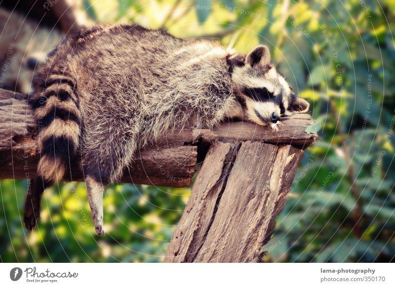 Faulpelz Erholung ruhig Natur Sommer Tier Wildtier Zoo Waschbär 1 liegen schlafen träumen Pause Siesta baumeln Beine faulenzen Farbfoto Außenaufnahme
