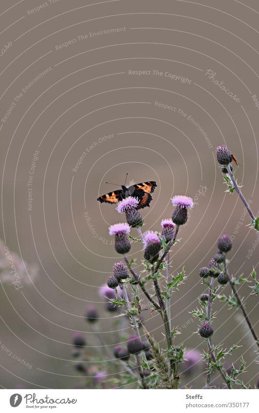 auf dem Lande Umwelt Natur Landschaft Sommer Pflanze Wildpflanze Distel Distelblüte Distelblatt Schmetterling Insekt Edelfalter Monarch Blühend schön violett
