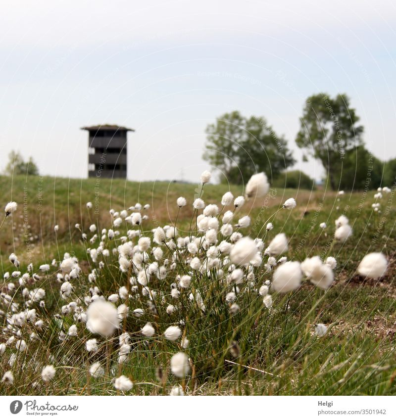 Wollgras blüht im Moor, im Hintergrund ein Aussichtsturm und Bäume vor blaugrauem Himmel Pflanze Natur Gras Wildpflanze Wollgrasblüte Moorpflanze blühen wachsen