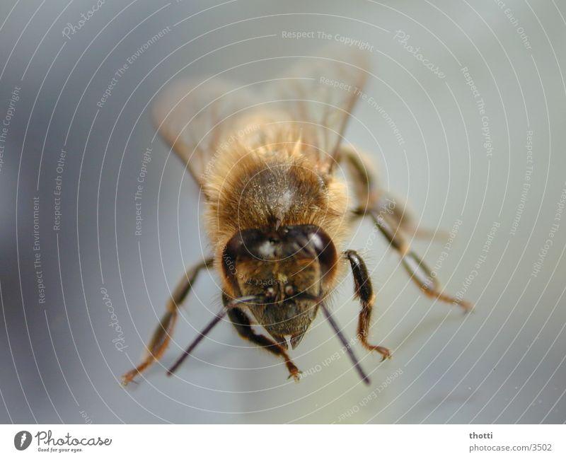 Look in my eyes Tier Insekt Biene Makroaufnahme