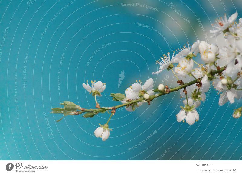 Kirschblütenzweig vor türkisem Hintergrund Frühling Blüte Zweig Apfelblüte Pflaumenblüte Blühend blau weiß zart Hintergrund neutral Blütenzweig Kischblütenzweig