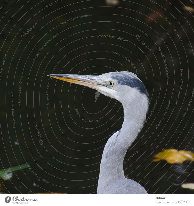 Reiher Fischreiher Graureiher Vogel Außenaufnahme Natur Wildtier Tierporträt Textfreiraum oben Menschenleer Federn Teich Weiher lauernd Wasser vorsichtig