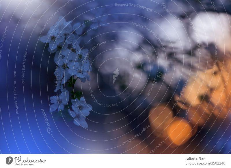 Wunderschöner Naturhintergrund.Blumenkunstdesign.Abstrakte Makrofotografie.Bunte Blumen.Blühende Frühlingsblumen.Kreative künstlerische Tapeten.Feiern,Liebe.Nahaufnahme.Fröhliche Feiertage.Blaue Farbe.Sakura-Kirschblütenbaum.Blauer Himmel und Sonnenuntergang.