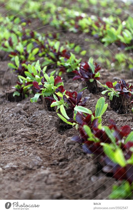 Trieblinge, Setzlinge von Salat auf dem Feld. Acker Natur Pflanze Landwirtschaft grün Ernährung Nutzpflanze Lebensmittel Vegetarische Ernährung Feldarbeit Erde